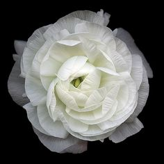 """""""Chantilly"""" Ranunculus No camera was used. Flower has been scanned then digitally painted. Archival prints now available to purchase from… White Flowers, Beautiful Flowers, Unusual Flowers, Rose Flowers, Le Croissant, Shades Of White, Black And White Photography, Black Backgrounds, Nature Photography"""