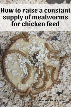 Raising mealworms for free chicken feed. How to raise a constant supply of mealw… Raising mealworms for free chicken feed. How to raise a constant supply of mealworms (cheaply) for your chickens! Portable Chicken Coop, Backyard Chicken Coops, Chicken Coop Plans, Building A Chicken Coop, Diy Chicken Coop, Backyard Farming, Chickens Backyard, Chicken Garden, Inside Chicken Coop