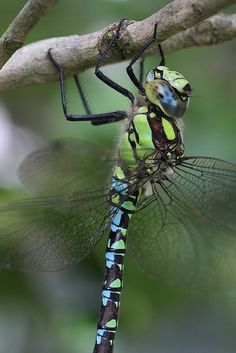Nature Composting Hawker dragonfly in the garden Beautiful Bugs, Beautiful Butterflies, Simply Beautiful, Beautiful Creatures, Animals Beautiful, Horse Caballo, Dragonfly Insect, Cool Bugs, Fotografia Macro