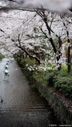 京都下京桜。高瀬川沿い木屋町通りを五条から四条まで歩いてみた。///鴨川の隣に細く流れている高瀬川。桜の木もたくさん植えられています。今回は五条通りから北に向かって四条通まで写真散歩してみました。約200本のソメイヨシノ(染井吉野)があるそうです。