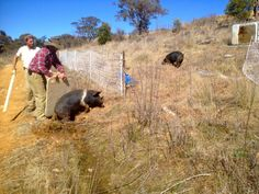 DIY Pig boards: the pastured pig fancier's best friend