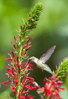 Lobelia cardinalis (Cardinal flower). 2-4' tall, needs constant moisture. attracts butterflies and hummingbirds.