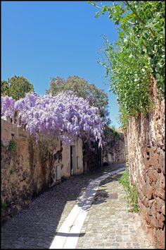Glicine_ Narbolìa,  Sardegna foto di R Oberto - Google+