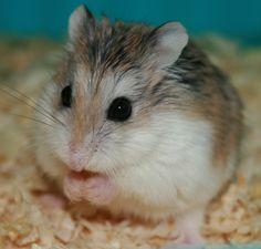 Roborovski hamsters!