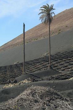 Palmera/s entre los viñedos de La Geria #Lanzarote by lanzarote rural, via Flickr