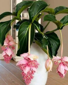 Container Gardening For Beginners 30 Pcs/pack Bonsai Medinilla magnifica Seeds For Home Garden Beautiful Plant Flower Seed - Bonsai Plants, Garden Plants, Indoor Plants, House Plants, Balcony Garden, Shade Garden, Herb Garden, Unusual Plants, Cool Plants