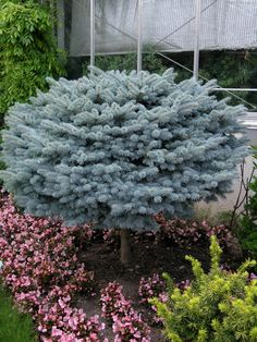 Picea pungens 'Glauca Globosa' (Dwarf Blue Spruce) standard form