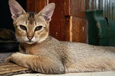 the Chausie
