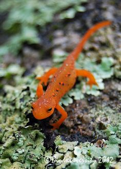 ayustar:  red eft by Biodrawversity on Flickr.