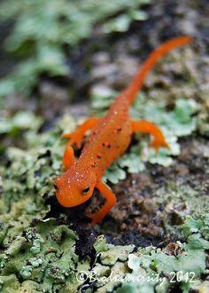 ayustar:  red eft by Biodrawversity on Flickr.