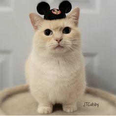 短腿控請注意!療癒萌主短腿喵星人JT Catsby變裝秀   可愛   妞新聞 niusnews