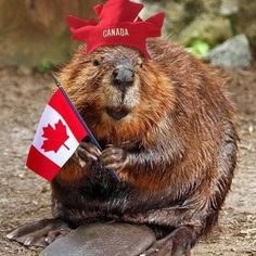 The National Animal of Canada Is the Beaver, Which Are Extremely Common Throughout the Country Canadian Things, I Am Canadian, Canadian Girls, Canadian History, Canadian Symbols, Canadian Memes, Canadian People, Canada Funny, Canada 150