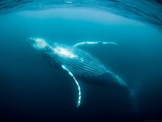 Amazing Blue Whale   OMG Amazing Pictures - Most Amazing Pictures on The Internet