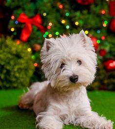 West Highland White Terrier Puppies'. Westies Puppies'. Flying Westie Sonya.