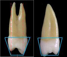 Teeth Anatomy ppt