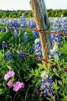 Bluebonnets and Phlox Near Wire Fence, Texas Hill Country, Texas, USA - Stock Photos : Masterfile - Modern Design Texas Hill Country, Country Life, Country Living, Country Fences, Country Roads, Old Fences, Wooden Fences, Texas Bluebonnets, Blue Bonnets