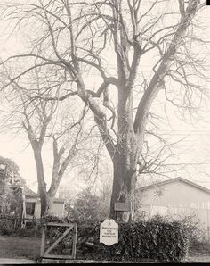 picture of Tree Planted by George Washington, at Fredericksburg, Virginia.  It was taken 1937 October 3 by Harris & Ewing