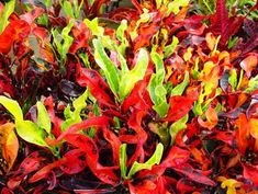 Croton Mammy   -- The Thais have been breeding some incredible crotons, but they haven't made it to our shores yet. In the meantime, this is a bright, easy selection.