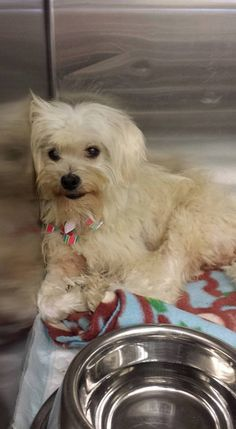 #A4836150 I'm an approximately 8 year old female poodle min. I have been at the Carson Animal Care Center since May 29, 2015.. You can visit me at my temporary home at C403.  Carson Shelter, Gardena, California 216 Victoria Street, Gardena, California