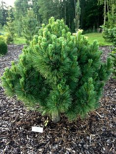 Pinus peuce 'Latgale' Landscaping Plants, Evergreen Plants, Shrubs, Conifers Garden, Conifers, Garden Planner, Winter Garden, Evergreen Garden, Garden Design