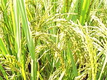 Grain - Rice - Super Rice, Natural Farming, Agricultural Science, Insect Pest, Animal Science, Plant Science, Fruit Trees, Genetics, Markers