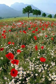 meadow: poppies and daisies Spring Pictures, Nature Pictures, Wild Flower Meadow, Wild Flowers, Flowers Nature, Image Nature, Meadow Garden, Red Poppies, Field Of Poppies