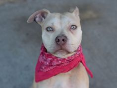 GONE 5/14/2015 --- Brooklyn Center JANEL – A1035366 FEMALE, TAN / WHITE, PIT BULL MIX, 2 yrs STRAY – STRAY WAIT, NO HOLD Reason STRAY Intake condition EXAM REQ Intake Date 05/05/2015,