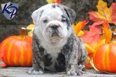 Libby Lu – English Bulldog Puppy www.keystonepuppies.com #keystonepuppies #englishbulldog