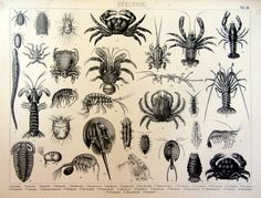 1859 antique german crustaceans engraving by LyraNebulaPrints, $45.99