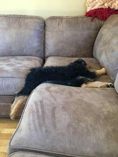 Airedale Sleep Position. Puppy Style