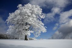 White tree in the Black Forest.  Photo by Franz Schumacher.