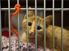 A kitten looks out from a cage at the Edmonton Humane Society, 13620 - 163 St…