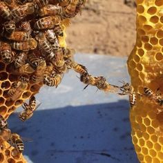 Festooning is a behavior where bees hold onto each other to create a scaffold while they build honeycombs.