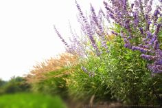 Late Summer Dynamos: Russian Sage (Perovskia) and Fountain Grass (Pennisetum alopecuroides 'Hameln').  Garden Design & Photography: Michaela Medina - thegardenerseden.com