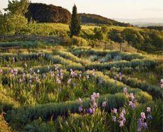 Iris & lavender, Italy