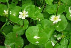 How to Grow Cowslip, Marsh Marigold, and other Caltha Plants. Cowslips should be grown in moist soil, reach a height of 30 cm, and have pink buttercup like flowers. Partial Shade Plants, Sun Loving Plants, Marsh Marigold, Soil Ph, Hardy Perennials, Clay Soil, Spring Time, Wild Flowers, Deer