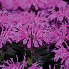 Proven Winners - 'Leading Lady Plum' - Bee Balm - Monarda hybrid purple magenta purple plant details, information and resources. Purple Plants, Sun Plants, Garden Shrubs, Garden Plants, Herb Garden, Iris Flowers, Purple Flowers, Deer Resistant Plants, Hummingbird Garden