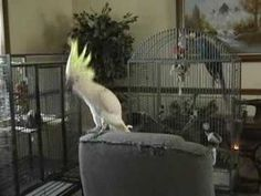 Snowball (TM) the cockatoo dancing to Stevie Nicks. Wow... makes me miss my Sosh. He used to dance like this too. They love music!