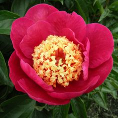 Peony 'Karen Gray'. Exhibition quality; large petals of a sharp fuchsia red encircle light yellow staminodes making an eye-catching display. Fragrant. The sturdy, low bush and large flowers set close to the foliage project a feeling of luxury, just what we expect of a choice landscape peony.