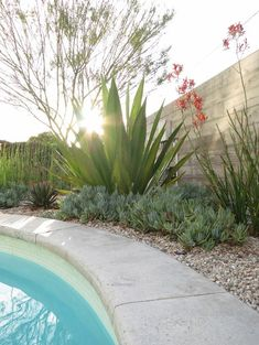 Doryanthes excelsa (Gymea Lily) pool planting.