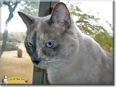 Read Serafina the Siamese, Calico mix's story from Phoenix, Arizona and see her photos at Cat of the Day http://CatoftheDay.com/archive/2013/April/27.html .