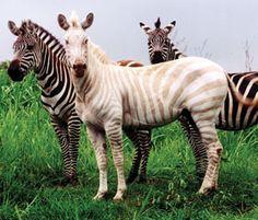 beautiful white zebra