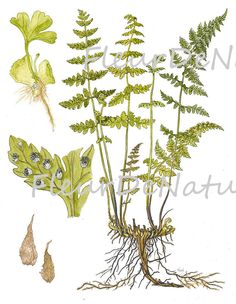 FERN PRINT Lindman 8X10 Botanical Art Print 6  Antique Beautiful Green Ferns Summer Forest Nature Home