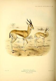 Pelzeln's Gazelle      ...