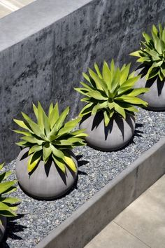 IAP planters with Agave attenuata