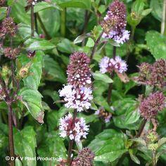 U bent op zoek naar een Mentha piperita f. citrata 'Chocolate' (chocolademunt)? Tuincentrum Maréchal! ✔ Eigen kwekerij ✔ LAGE prijzen ✔ Uitgebreide planteninformatie