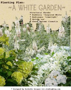 White garden structure plants: Buddleia 'Inspired White', Hydrangea 'Limelight', and white blooming varieties of Spirea, Sweet Autumn Clematis. Sweet Autumn Clematis, Vegetable Garden Planning, Famous Gardens, Planting Plan, White Plants, Night Garden, Blooming Plants, Garden Borders, White Gardens