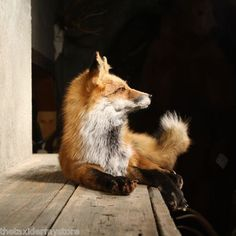 Red Fox Laying Life Size Taxidermy Mount. thetaxidermystore ebay listing.