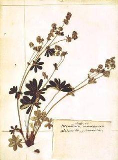 Jean-Jacques Rousseau - Alchemilla, from a Herbarium