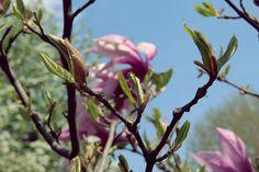 buds by mircea.az on YouPic Canon Eos, Bud, Magnolia, Nature, Plants, Naturaleza, Magnolias, Plant, Nature Illustration